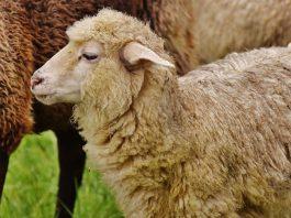 Sheep-Human Hybrid to Feed Growing Organ Demand